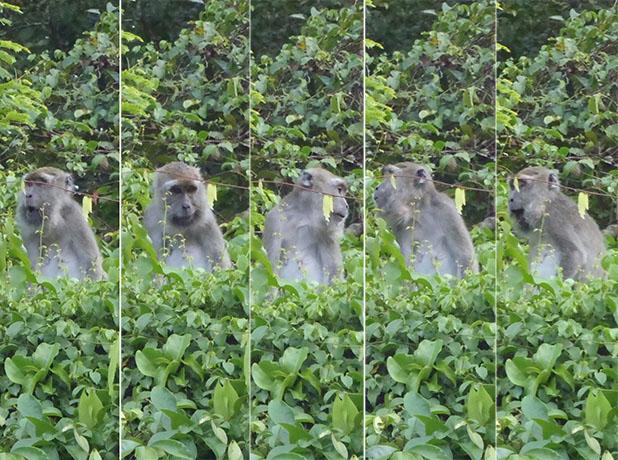 Borneo macaque
